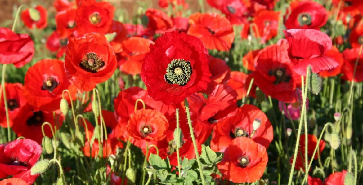 OuiPlease OuiBlog French Style Poppy Flower
